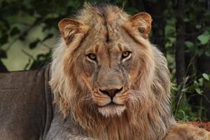 León descansando en la reserva Wild At Tuli en Botsuana