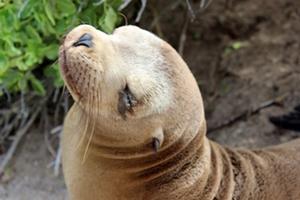 Sea lion on the Galapagos Islands, Ecuador.
