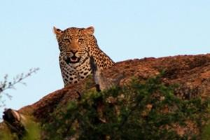A leopard in its natural habitat in Botswana