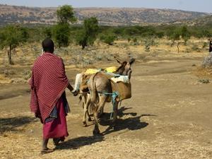 Un miembro de la comunidad Masái cuida de su ganado en Tanzania, África