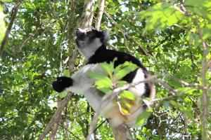 Un lémur avisatado en lo alto de los árboles en Madagascar.