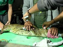 Volunteers doing checks on a baby crocodile
