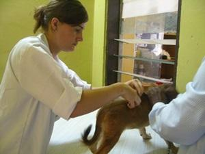 A qualified Projects Abroad volunteer works with one of the dogs at her placement