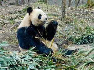 Panda comiendo bambú en centro de investigación en China