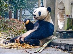 Panda en Centro de Rescate en proyecto de voluntariado en China