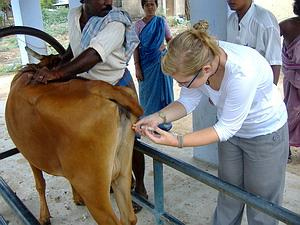 Giving a cow an injection