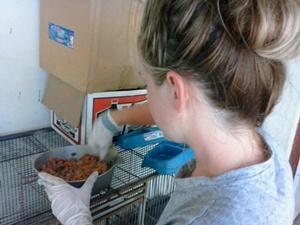Voluntaria de Projects Abroad en el proyecto de Cuidado de Animales prepara comida para animales domésticos en el centro de rescate en Jamaica.