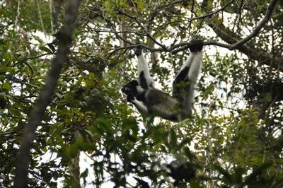 Un lémur en las ramas de un árbol en el parque nacional ubicado cerca de Andasibe, Madagascar